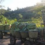 Des calèches transportant les litchis récoltés auprès de paysans producteurs