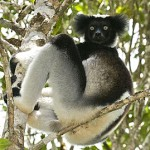 Indri Indri à Andasibe