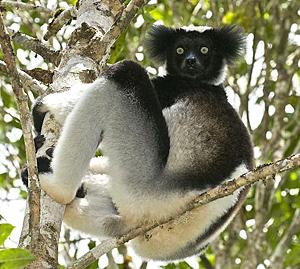 Parc d'Andasibe : Un premier festival à l'honneur des lémuriens Indri indri