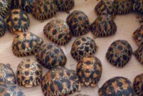 Trafic de tortues : Un fléau difficile à juguler