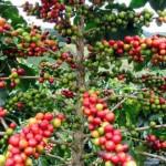 café de Madagascar