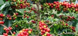 Le café de plus en plus cher et de plus en plus rare