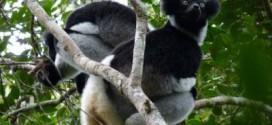 Parc d'Andasibe : Des chasseurs de lémuriens interpellés