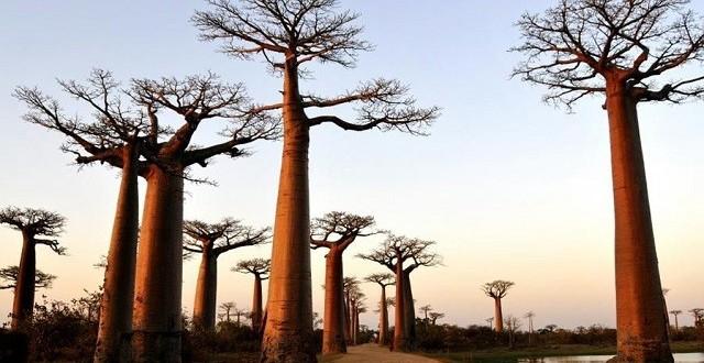 Allée des baobabs : Générer des ressources pour la population locale