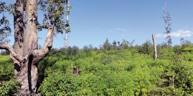 Des arbres fruitiers transformés en charbon