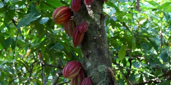Madagascar, pour la promotion d'une filière cacao durable
